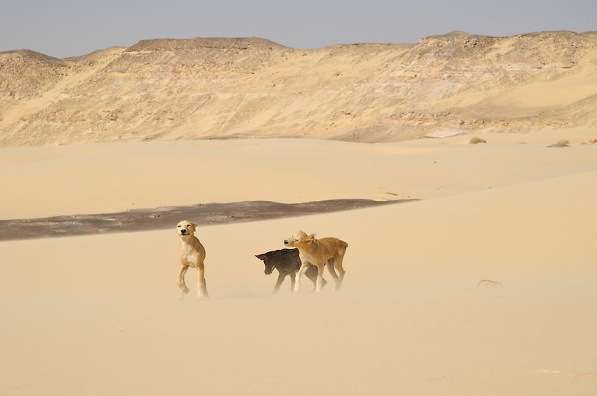 Puppies playing in the desert around Qasr al Labakha, near Al Kharga