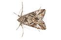 Silver Y Moth (Autographa / Plusia gamma)