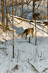 White-tailed deer photographed from above