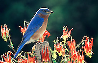 Bluebird on fencepost surrounded by Columbine flowers