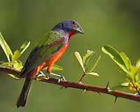 Painted Bunting perched on firethorn in summer.