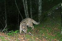 Leopard cat (Prionailurus bengalensis) captured in Wang Lang NR, Sichuan.<br /> &copy; WWF / Peking University