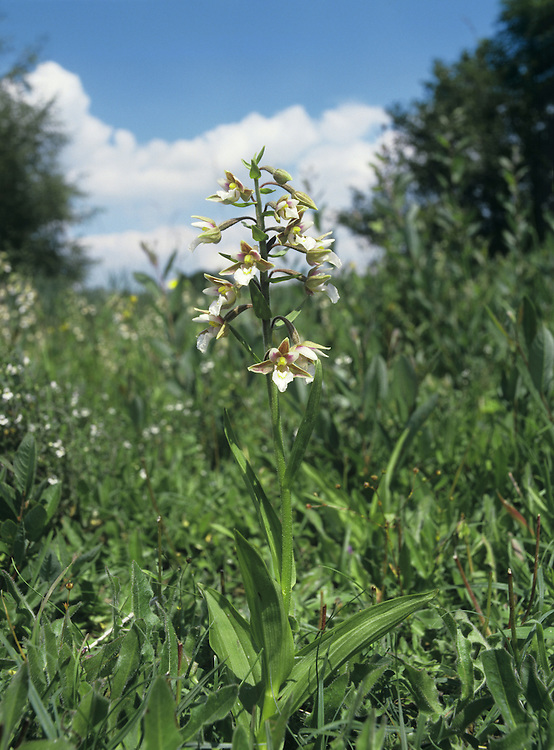 MARSH HELLEBORINE Epipactis palustris (Orchidaceae) Height to 50cm. Upright and elegant perennial. Grows in marshes, fens and wet dune-slacks. FLOWERS comprise reddish- or brownish-green sepals, narrow, whitish upper petals that are marked with red, and a frilly, whitish lip marked with red streaks towards the base; borne in open spikes of up to 14 flowers (Jul-Aug). FRUITS are pear-shaped. LEAVES are broad and oval towards the base of the plant but narrower up the stem. STATUS-Very locally common in S England, S Wales and S Ireland; scarce or absent elsewhere.