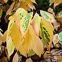 Autumn foliage of Cornus alba 'Elegantissima', early November.