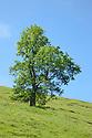 Ash Tree {Fraxinus excelsior} growing in a field. Peak DIstrict National Park, Derbyshire, UK. July.