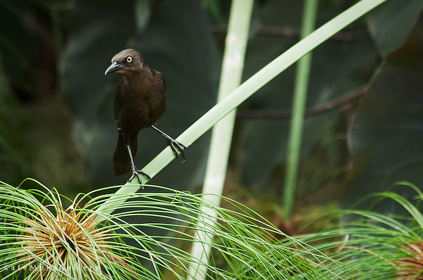 Carib Grackle,black bird perched on a branch