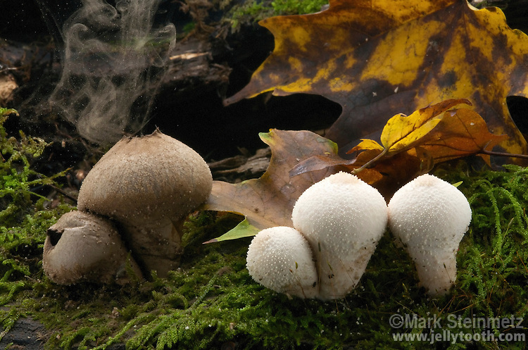 Gem-studded puffballs (Lycoperdon perlatum) releasing spores. On the right, immature specimens which are pure white and edible at this stage. On the left, matured spore cases have turned olive-brown, and the interior powdery. Raindrops, wind currents, or animal contact cause dispersal of spores through holes which open at top of the spore case. Hocking State Forest, Ohio, USA.
