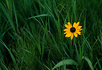 A single black-eyed susan (Rudbeckia hirta) growing amid summer grasses, Pikes Peak, CO