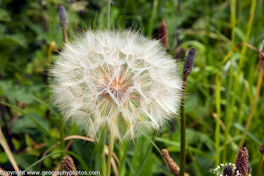 Close up dandelion seed head