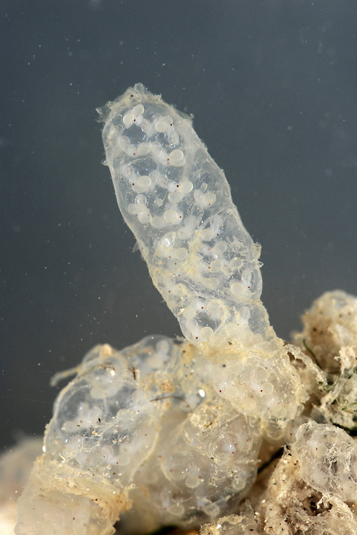 Common Squid quid eggs - Loligo vulgaris
