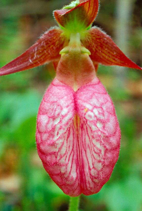CLOSE-UP OF A PINK LADY SLIPPER ORCHID (Cypripedium acaule) NEAR MOSQUITO BEACH IN PICTURED ROCKS NATIONAL LAKESHORE NEAR MUNISING.