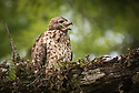 April 19 thru 21 2016 / Jupiter Florida and vicenity / Red Shoulderd Hawk / Juvenile / Photo by Bob Laramie
