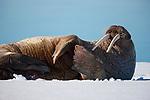 Norway, Svalbard, walrus on ice floe, Odobenus rosmarus, close-up