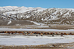 Cattle lined into the sun, spring, Nevada, State Highway 225, Elko County, Independence Mountains,