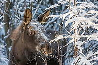 Young moose browses on twigs in the winter boreal forest, Fairbanks, Alaska.