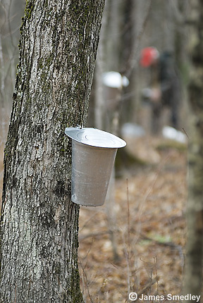 Maple sap bucket hanging on maple sugar tree