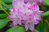 Pacific Rhododendron, Coast Rhododendron or Big Leaf Rhododendron (Rhododendron macrophyllum).  Pacific Northwest.  May-June.