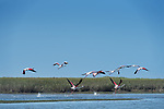 Flamingos (Phoenicopteridae) take flight at Lac Naila, Morocco.