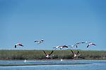 Flamingos (Phoenicopteridae) take flight at Lac Naila, Morocco.