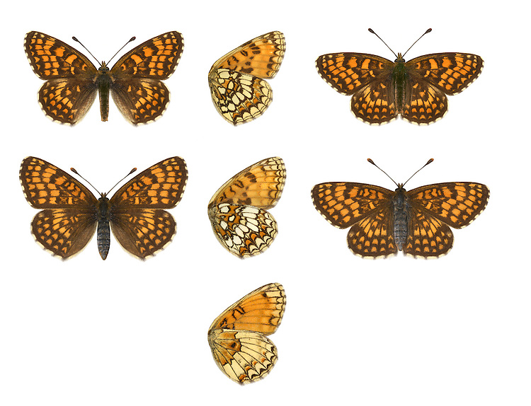 Heath Fritillary - Melitaea athalia - male (top) - typical female (middle) - aberrant female underwing (bottom). Wingspan 45mm. A rather sluggish and slow-flying butterfly. Adult has dark orange brown upperwings with bold dark markings; underwings are creamy-white with chestnut-brown markings. Flies June–July. Larva is blackish with bristly orange spikes; feeds on Common Cow-wheat, Wood-sage or plantains. Rare and local, mainly in southeast and southwest England; favours sunny woodland rides.