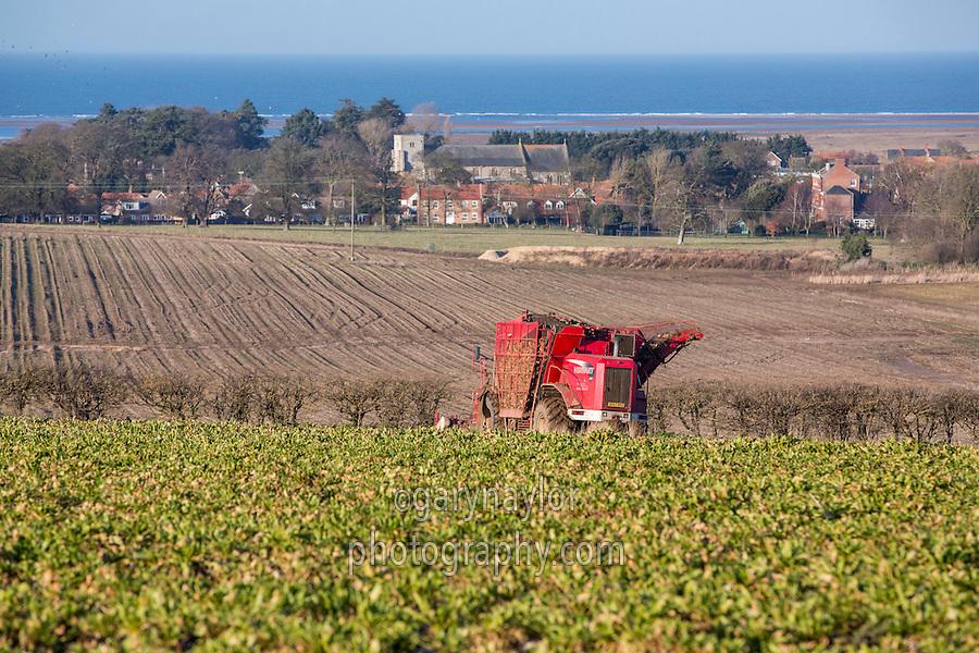 Harvsting sugar beet with a Varveat 617 - Norfolk, February