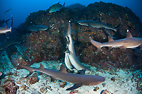 Whitetip reef sharks, Trienodon obesus, matin on a rocky reef. A male shark has bitten the female's pectoral fin and maneuvered into a position suitable for copulation. Cocos Island, Costa Rica, Pacific Ocean
