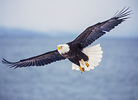Bald eagle in flight, Homer, Alaska.