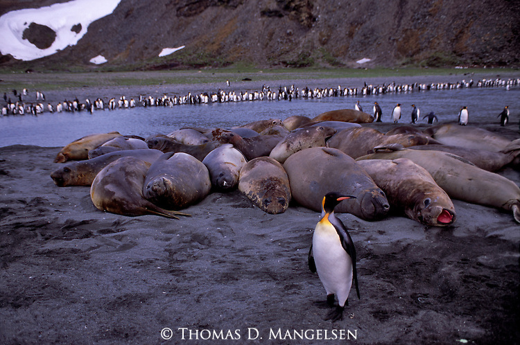 Southern elephant seals and king penguins on a beach in South Georgia.