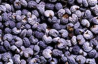 Schlaf-Mohn, Schlafmohn, Mohn, Samen, Papaver somniferum, Opium Poppy