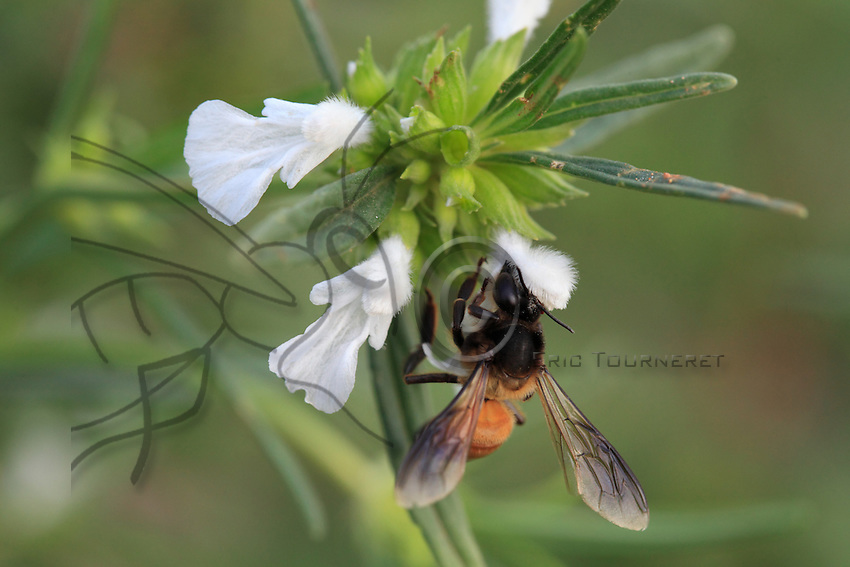 A geant bee on a potatoes flower.