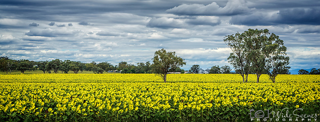 A panorama of a golden field of sunflowers in the New England region of NSW in Australia.
