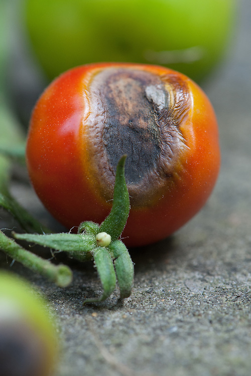 Tomato blossom end rot, mid August.