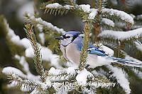 01288-052.13 Blue Jay (Cyanocitta cristata) in Balsam fir tree in winter, Marion Co IL