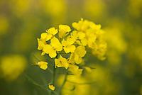 Oilseed rape close-up, Lincolnshire.