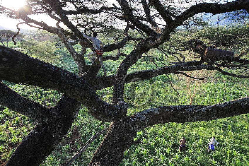 A harvest in an acacia tree above a cornfield. The proximity of the Mago National Park creates a problem. The Banas install their hives in the park but their expeditions into the brush are accompanied by hunting… We understand the rapid disappearance of the wildlife starting in the 1980s with the arrival of automatic guns in the region. Poachers hunting the ivory have decimated the herds of elephants and potential predators of the goat herds are systematically hunted and killed///Récolte sur un acacia au dessus d'un champ de maïs. La proximité avec le Parc National du Mago pose un problème de voisinage. Les Banas ont l'habitude d'installer leurs ruches dans le parc mais ces expéditions en brousse s'accompagnent de chasses…On comprend la disparition rapide de la faune sauvage à partir des années 80 avec l'arrivée des armes automatiques dans la région. Les troupeaux d'éléphants ont été décimés par des braconniers pour leur ivoire et les prédateurs possibles des troupeaux systématiquement poursuivis et chassés.