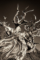 730252176bw a sepia toned rendering of a contorted bristlecone pine pinus longeava along ridge line at sunset in the white mountains california