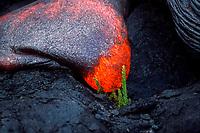 lava flowing over fern Hawaii, USA Volcanoes National Park, Big Island of Hawaii, USA, Pacific Ocean