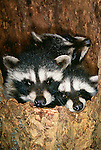 Raccoon kits in a hemlock stump, Washington