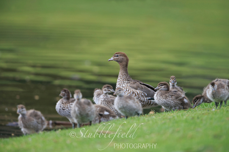 Maned Duck (Chenonetta jubata) female with ducklings in Rymill Park in Adelaide, South Australia.