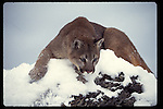 mountain lion in snow preparing to pounce