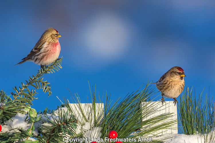 Common redpolls perched on a decorated picket fence in northern Wisconsin.