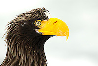 Steller's Sea Eagle (Haliaeetus pelagicus) close up portrait, Japan, February 2015