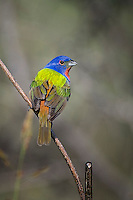 Painted Bunting, San Angelo State Park, Texas