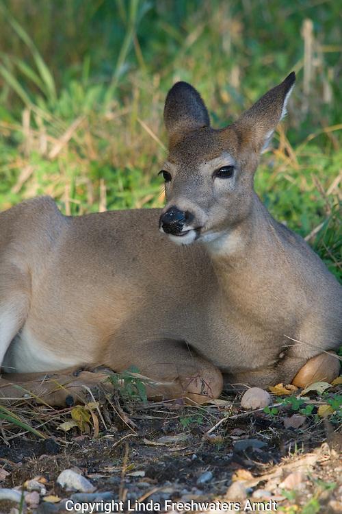 White-tailed deer (Odocoileus virginianus) bedded