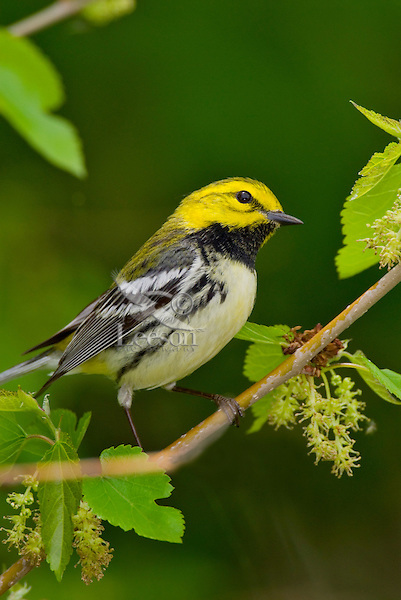Black-throated Green Warbler (Dendroica virens)