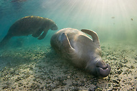 Florida Manatee, Trichechus manatus latirostris, A subspecies of the West Indian Manatee. A manatee slumbers in the upside down position soaking up the warming rays of the sun. Cyrstal River, Florida.
