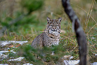 Wild Bobcat (Lynx rufus).  Olympic National Park, WA.  November.  (Completely wild, non-captive cat.)