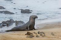 Northern Elephant Seal (Mirounga angustirostris) bull coming ashore.  California's Pacific Ocean Coast.