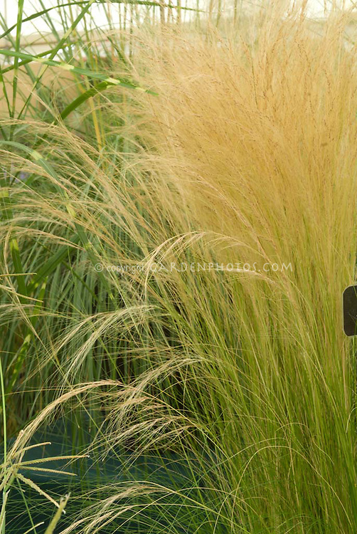 Stipa tenuissima 39 pony tails 39 ornamental grass aka nasella for Tall feather grass