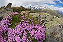 Moss Campion (Silene acaulis) photographed with a fisheye lens to show mountain environment. Nordtirol, Austrian Alps, Austria, July.
